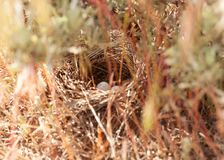 A Lark Sparrow`s nest under a sage bush. Horizontal image of a Lark Sparrows nest in the grass under a sage bush royalty free stock photography