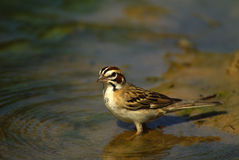 Lark Sparrow at Waterhole Royalty Free Stock Photos