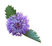 Larkdaisy Flower Stock Photos