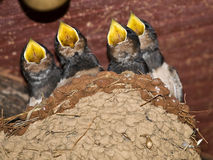 Larks in the nest Stock Photography