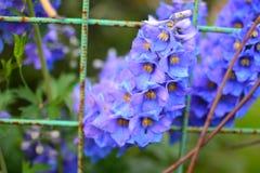 larkspur,新鲜翠雀蓝色的花,野花,花,绿色背景 免版税库存图片