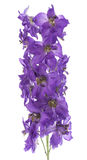 Larkspur Royalty Free Stock Image