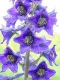 Larkspur Stockfotos