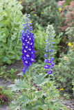 Larkspur Stock Photo