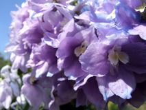 Larkspur Photos stock