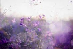 Larkspur. Beautiful purple wild flower in sunset. Forking Larkspur (Consolida regalis). Macro/ depth of field Royalty Free Stock Photography