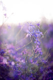 Larkspur. Beautiful purple wild flower in sunset. Forking Larkspur (Consolida regalis). Macro/ depth of field Royalty Free Stock Images