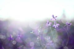 Larkspur. Beautiful purple wild flower in sunset. Forking Larkspur (Consolida regalis). Macro/ depth of field Royalty Free Stock Photos