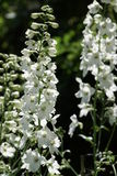 Larkspur. Beautiful white larkspur in bloom Stock Photography
