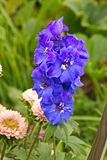 Larkspur blooms in the garden blue vertical frame. Larkspur blooms in garden blue vertical frame close - up garden flower royalty free stock images