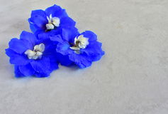 Larkspur. Blue and a little white Larkspur blossom Royalty Free Stock Image