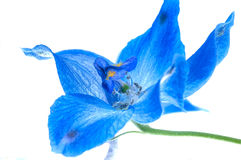 Larkspur Royalty Free Stock Images