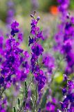The larkspur Consolida regalis. The larkspur Consolida regalis  over the field Royalty Free Stock Image
