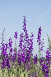 The larkspur Consolida regalis. Over the field Stock Photos