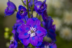 Larkspur/Delphinium, Purple and Blue Royalty Free Stock Photos