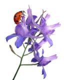 Larkspur flower. With ladybug on white backgrund Royalty Free Stock Image
