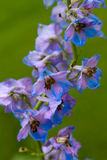 The Larkspur flower Royalty Free Stock Image
