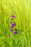 Larkspur Flower Royalty Free Stock Photography
