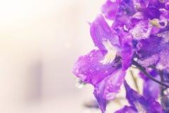 Larkspur flowers, Delphinium elatum. Larkspur purple flowers, Delphinium elatum with water drops after rain in a garden, close up Royalty Free Stock Photography