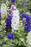 Larkspur flowers, Delphinium elatum. In white, blue and purple colors royalty free stock images