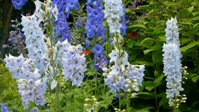 Larkspur flowers stock video