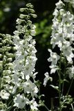 Larkspur. Great white inflorescence of larkspur Stock Photography