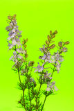 Larkspur on Green Background Stock Photography