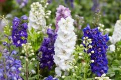 Larkspur kwiaty, Delphinium elatum obraz royalty free