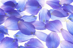 Larkspur petals Royalty Free Stock Photography