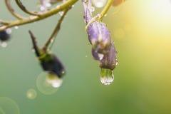 Larkspur flowers, Delphinium elatum. Larkspur purple flowers, Delphinium elatum with water drops after rain in a garden, close up Royalty Free Stock Photo