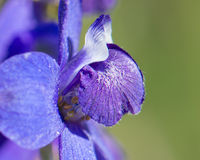 Larkspur in Southern California Royalty Free Stock Photography
