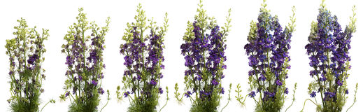 Larkspur Time-lapse. Purple larkspur blooming. Time lapse composite Royalty Free Stock Photos
