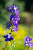 Larkspur. With yellow flowers in background Royalty Free Stock Photos