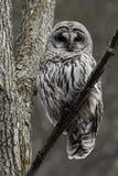 Larma den gallerförsedda ugglan, Strixvariaen som sätta sig i ett träd Arkivbild