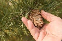 Larme de main d'hommes le cône d'un pin, du pin avec les branches vertes de pin de l'arbre le concept de Noël, des vacances et de Photographie stock libre de droits