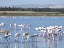 Larnaca Flamingos. Flamingos on larnaca salt lake  cyprus Royalty Free Stock Photography