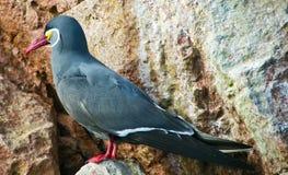 Free Larosterna Inca, Islas Ballestas, Peru Stock Images - 35878184
