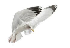 larus сельдей чайки argentatus европейский Стоковая Фотография