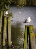 Larus argentatus. Common gray seagulls on some poles Royalty Free Stock Images