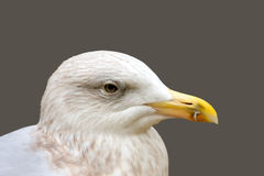 Larus argentatus Stock Photography