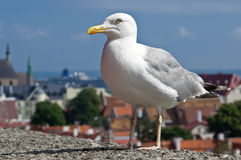 Larus Argentatus. Or the European herring gull in the city Stock Image