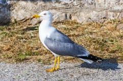 European herring gull, Larus Argentatus. stock image