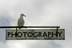Larus argentatus, Herring Gull Royalty Free Stock Photo