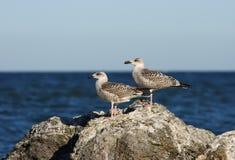 Larus argentatus Herring Gull Royalty Free Stock Image