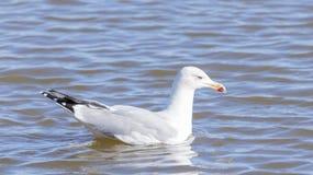 Larus argentatus, herring gull Stock Image