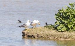 Larus argentatus, herring gull Royalty Free Stock Photos