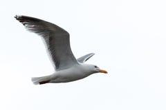 Larus argentatus, Herring Gull Stock Photos