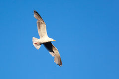 Larus argentatus, Herring Gull Royalty Free Stock Image