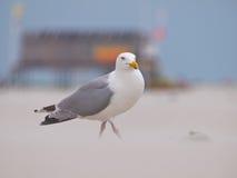 Larus argentatus, Herring gull on a wind blown beach Stock Photography
