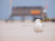 Larus argentatus, Herring gull on a wind blown beach Stock Photos